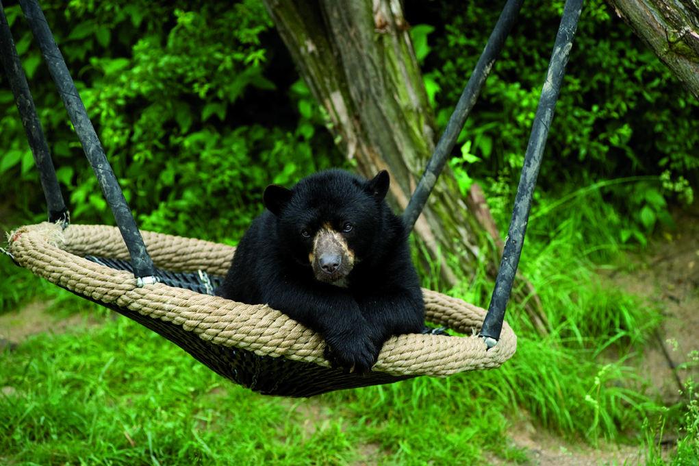 Bear in swing